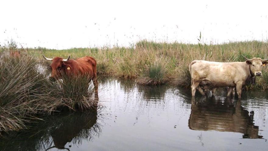 La ganadería vacuna vuelve tras 15 años al Marjal de Pego-Oliva