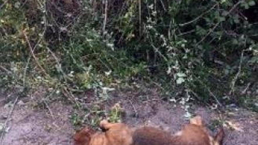 La Guardia Civil de Ávila busca al responsable de disparar en la cabeza a un perro