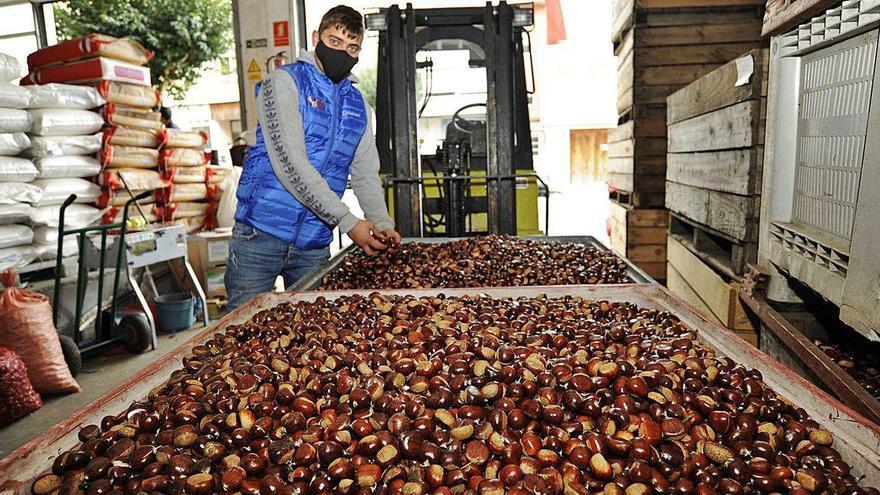 Los productores ven con preocupación la venta de castañas ante la ausencia de magostos