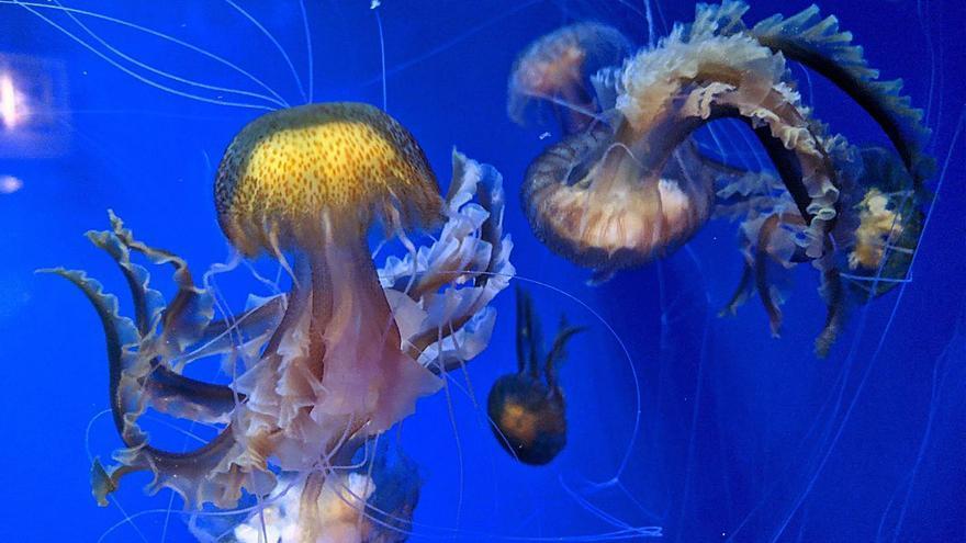 La medusa més urticant del mar Mediterrani es reproduïx a l'Oceanogràfic
