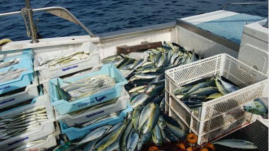 Guter Fang zu Beginn der Goldmakrelen-Saison auf Mallorca