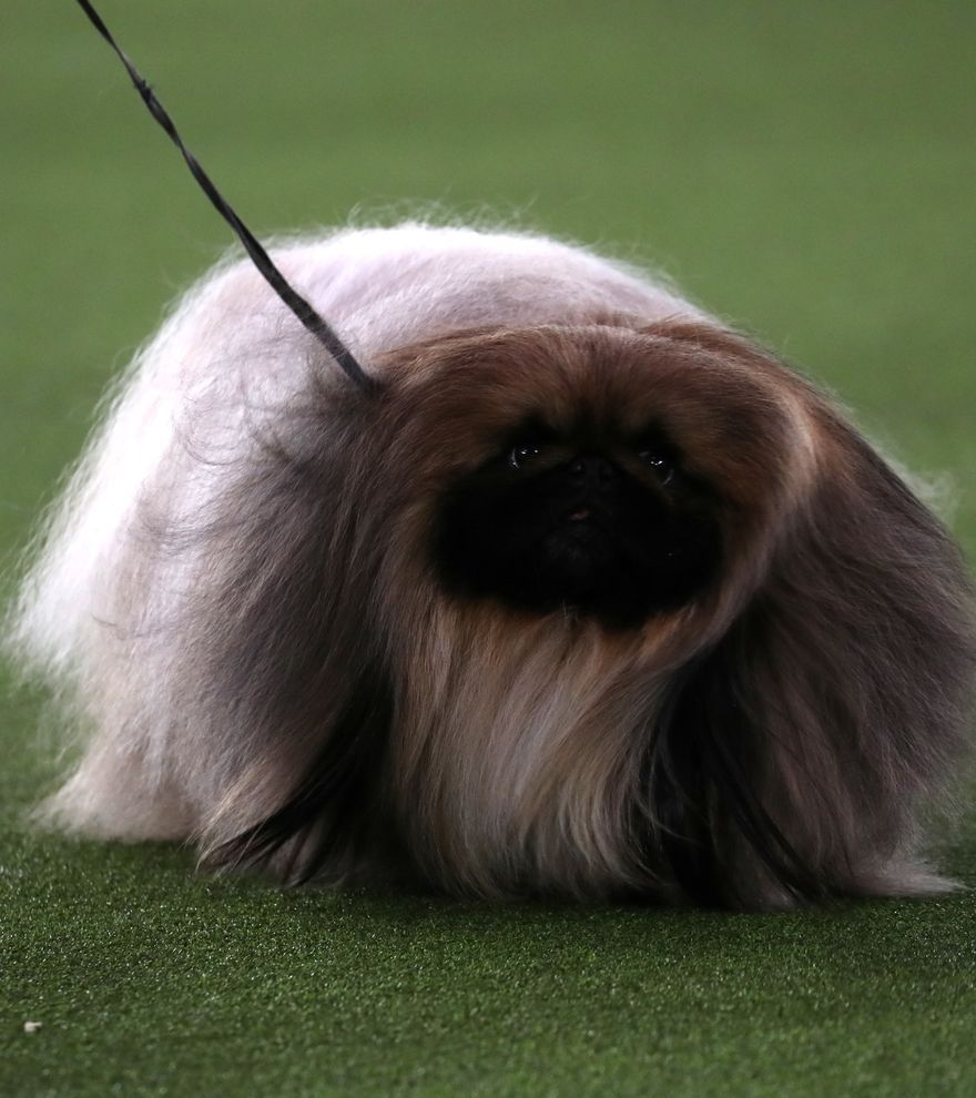 Wasabi, el perro más guapo del Westminster Dog Show