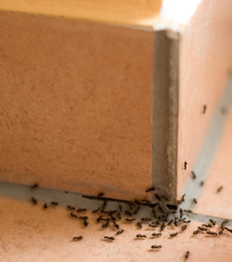 Cómo hacer una trampa para hormigas en casa