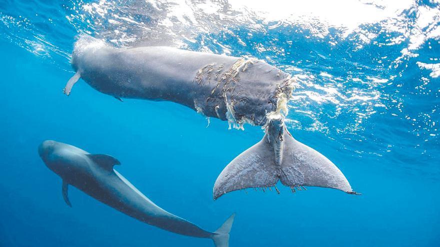 La ballena de la aleta caudal rota