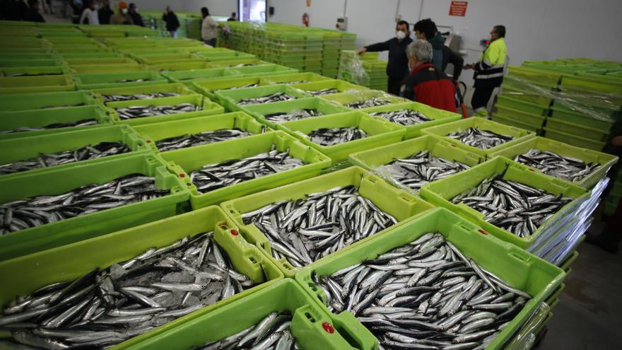 La lonja supera los 300.000 kilos de bocarte en los primeros días de costera
