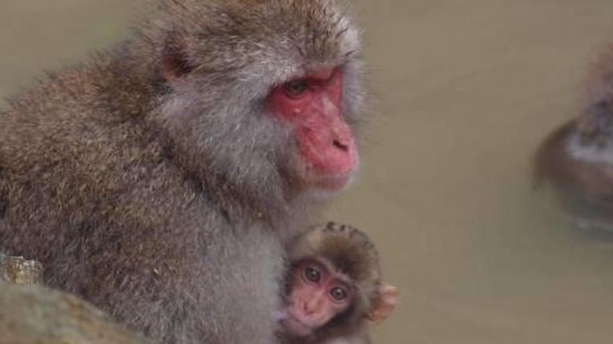 Buscan desde hace un mes a dos macacos escapados de una finca de Alicante