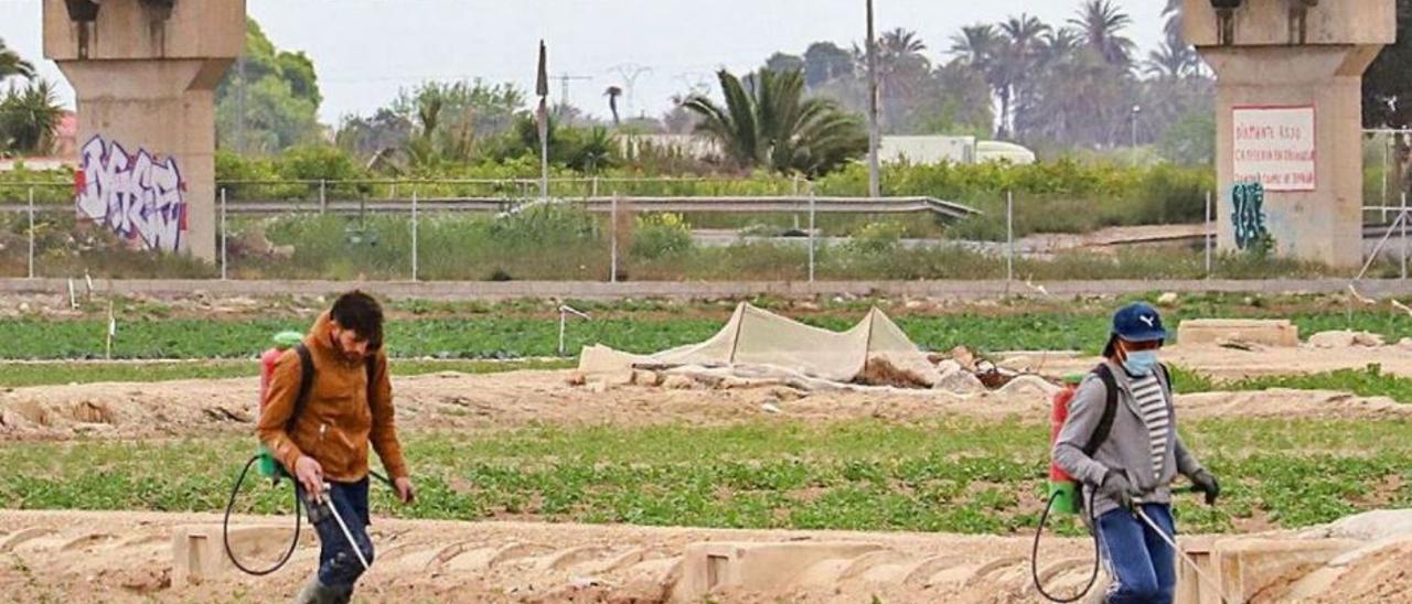Dos jornaleros agrícolasechando abonos en unaexplotación agrariade la Vega Baja.