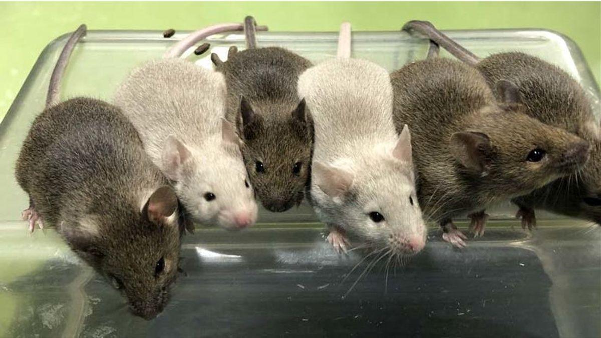 Ratones adultos obtenidos a partir del experimento.