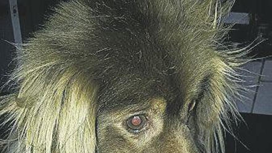 Las entrañables y complicadas razas de perros con hocicos chatos