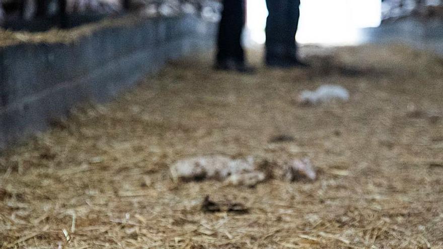 Así son las ayudas por ataques de lobos y perros asilvestrados al norte Duero en Zamora