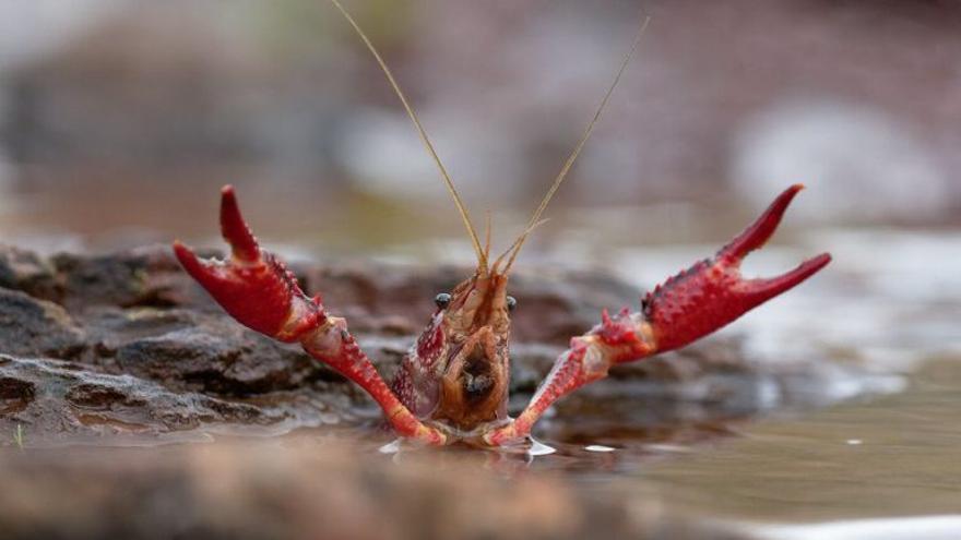 ¿Cuál es el patógeno que está matando a los cangrejos de río?