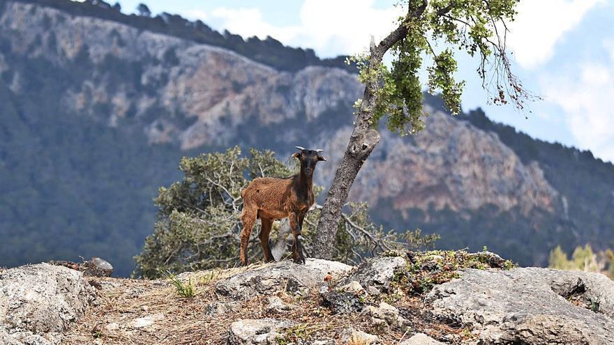 La cabra salvaje, la gran amenaza de la flora endémica
