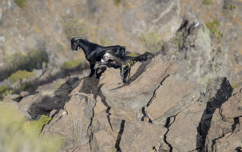 26/05/2018 TASARTICO, ALDEA DE SAN NICOLAS.  Apañada de cabras en la zona de Güi Güi, organizada por el Cabildo de Gran Canaria y  con la colaboración de distintos colectivos. FOTO: J. PÉREZ CURBELO  | 26/05/2018 | Fotógrafo: José Pérez Curbelo