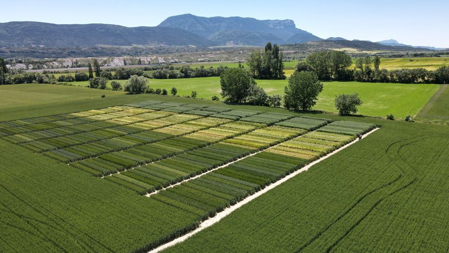 La Jacetania apuesta por el cultivo de la avena para consumo humano