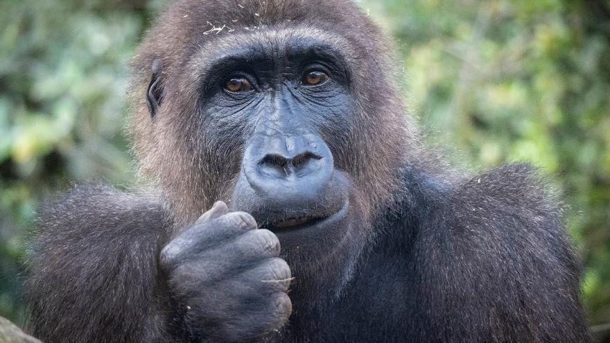El primer gorila valenciano cumple nueve años en Bioparc