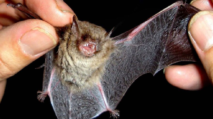Esta es la estrategia de los murciélagos macho para atraer a las hembras de noche