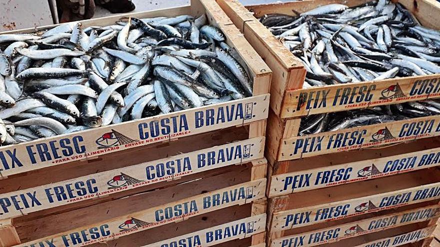 Sardines: cada cop més joves, més petites i amb pitjor salut