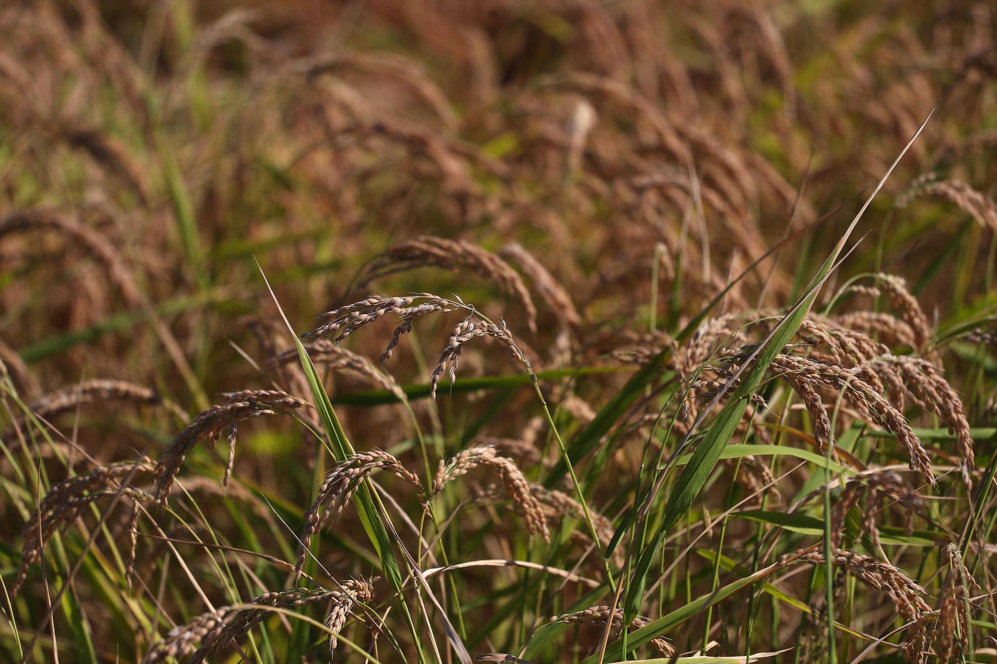 Comienza la siega del arroz en el Parque natural de La Albufera