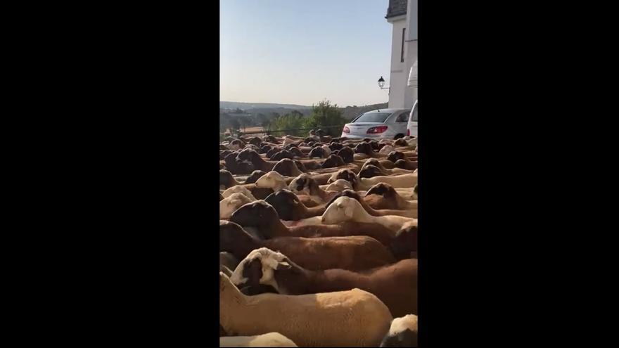 VÍDEO | Miles de ovejas alistanas llegan a Puebla de Sanabria