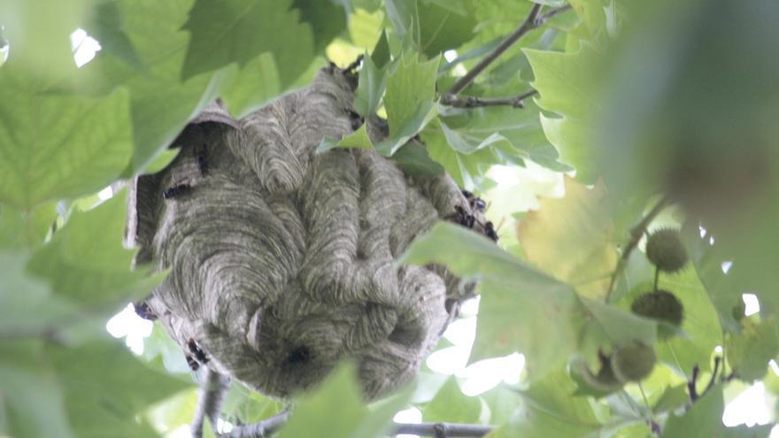 Los apicultores estiman que en Galicia existen más de 100.000 nidos de velutina