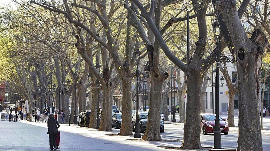 Xátiva talará de urgencia cinco grandes plataneros de la Albereda