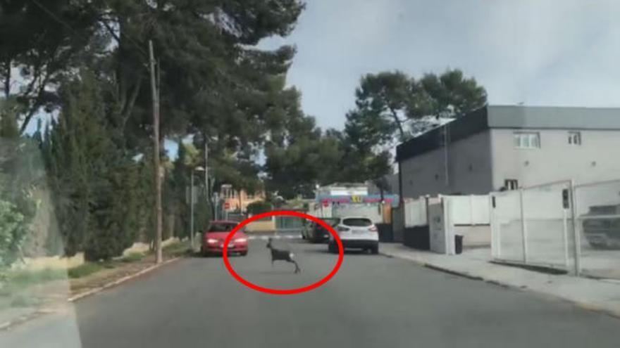 Un cervatillo recorre las calles de La Canyada