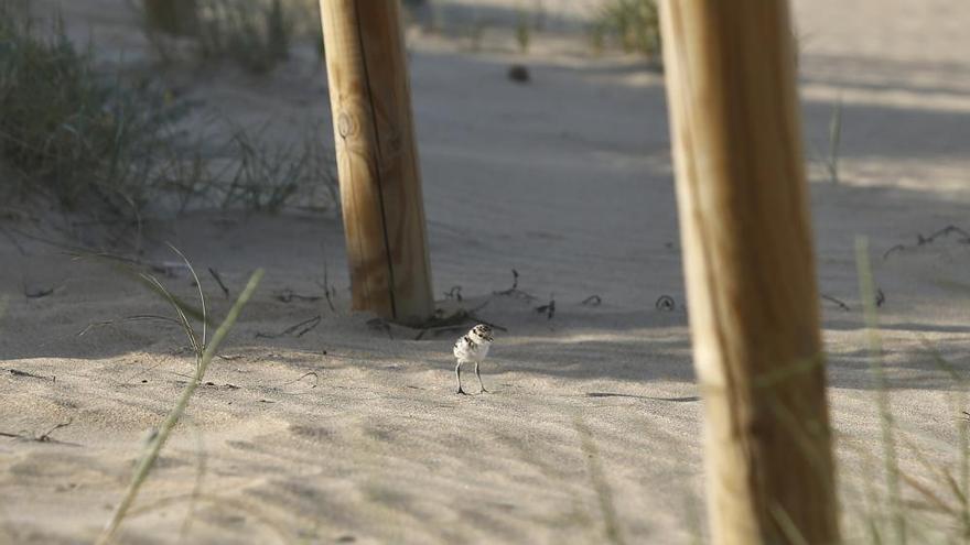 Los chorlitejos crían a pie de playa en Torrevieja gracias a la vigilancia voluntarios