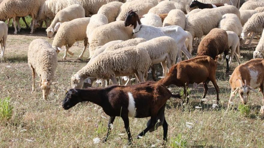 """El Observatorio de la Sostenibilidad alerta del """"retroceso"""" de la ganadería en Ibiza"""