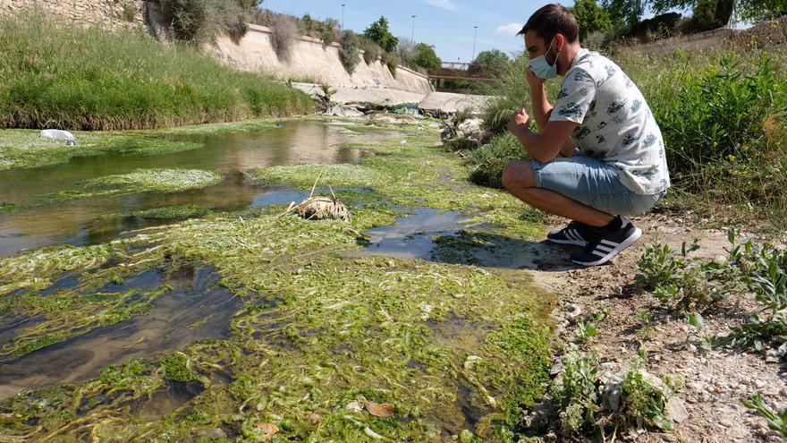 Un alga asociada a vertidos fecales inunda el cauce del Vinalopó entre Elda y Sax
