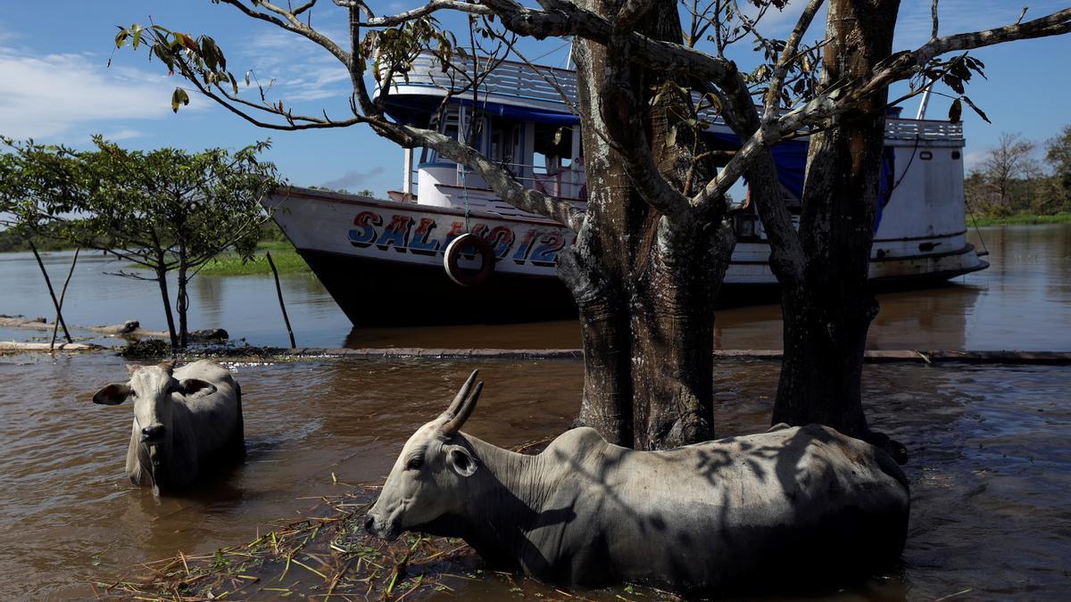 Paso de ganado a orillas del río Solimoes, en el Amazonas.