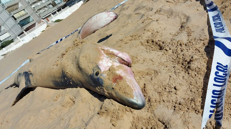 Aparece un tiburón tintorera varada en la playa de Guardamar del Segura