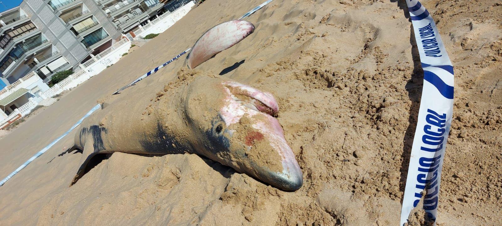 Hallan una tintorera varada en la playa de Guardamar del Segura