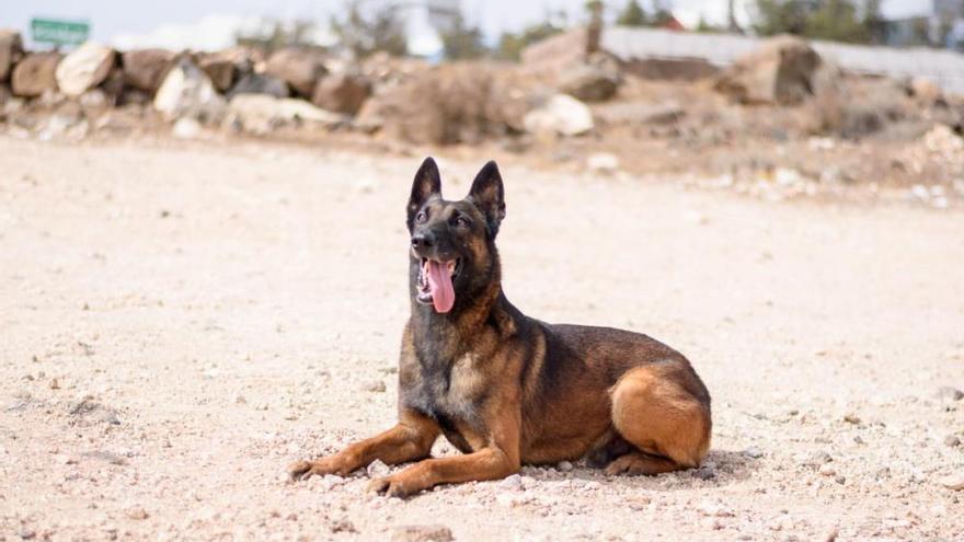 Pol, un perro policía jubilado que busca hogar en Canarias