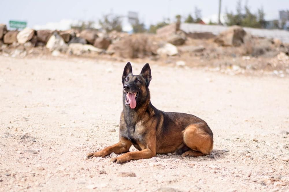 Perro policía jubilado busca hogar en Canarias
