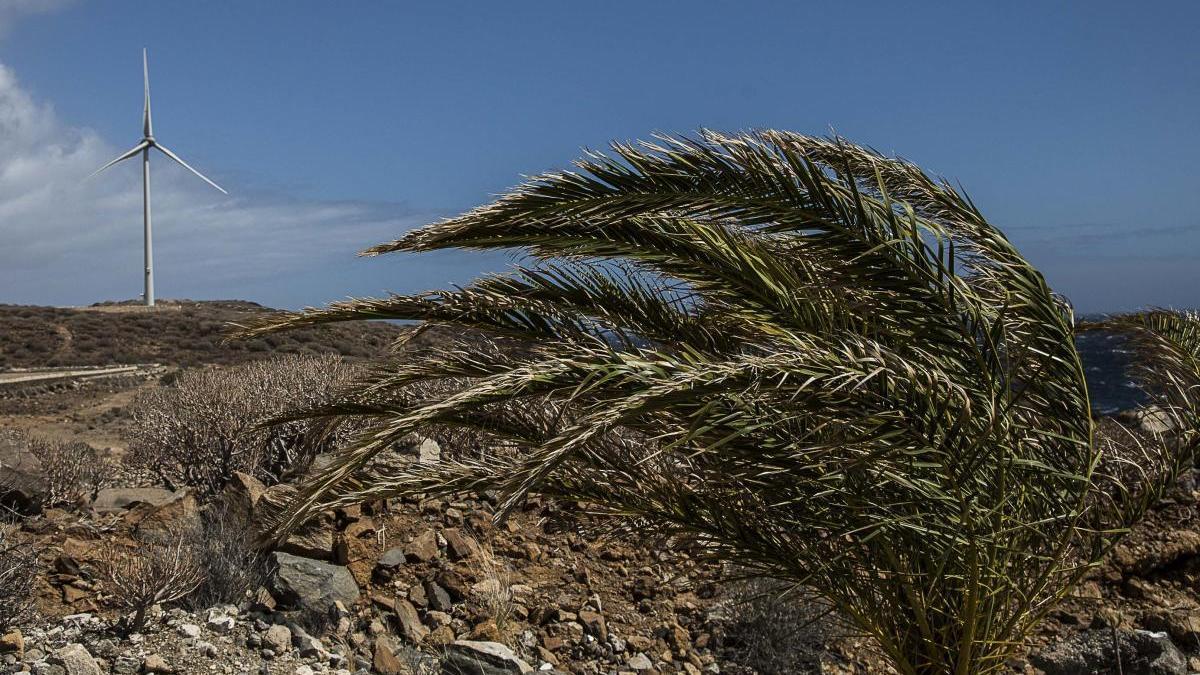 Una palmera durante un episodio de viento anterior.