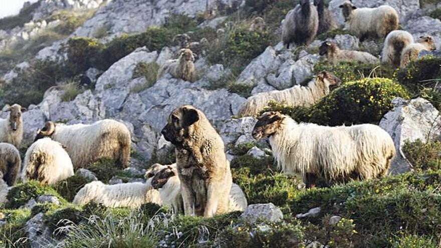 El Principado y la Fundación Caja Rural destacan la figura del perro pastor en la ganadería extensiva