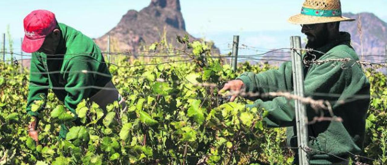 Dos viticultores durante la vendimia de la Bodegas Bentayga, en en municipio de Tejeda.