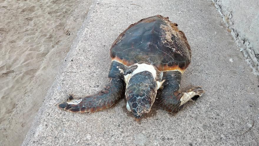 Localizan una tortuga de gran tamaño en Ciutat Jardí