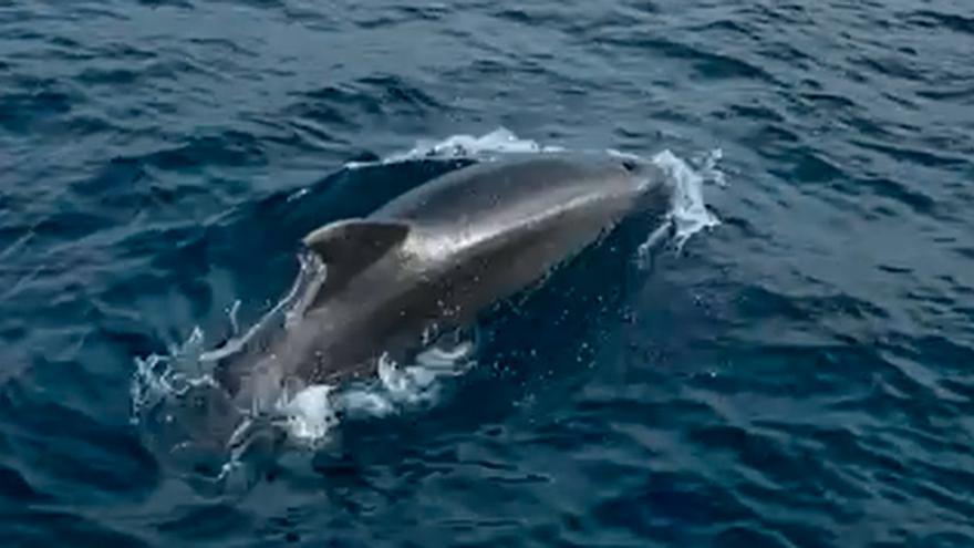 Un grupo de delfines sorprende en Gijón