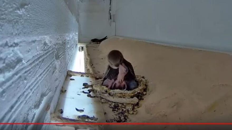 En directo: cómo crecen los polluelos de vencejo en su nido de Jerez