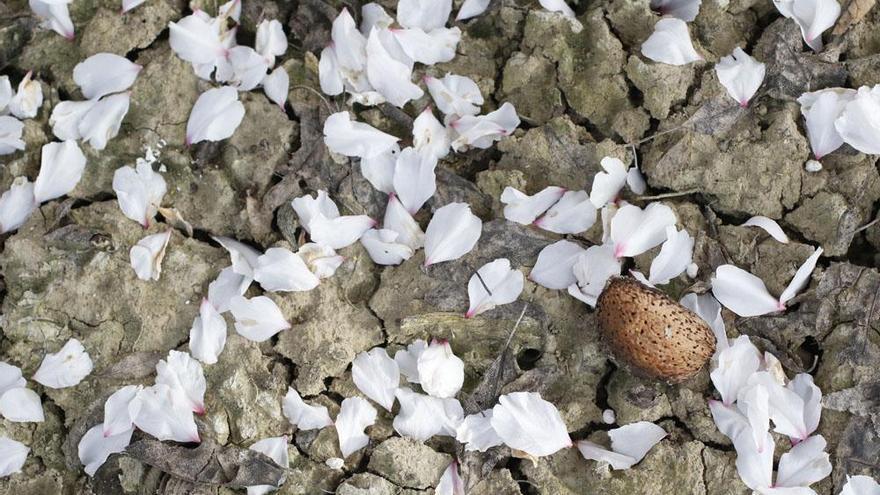 Almendros en flor, un espectáculo de la naturaleza