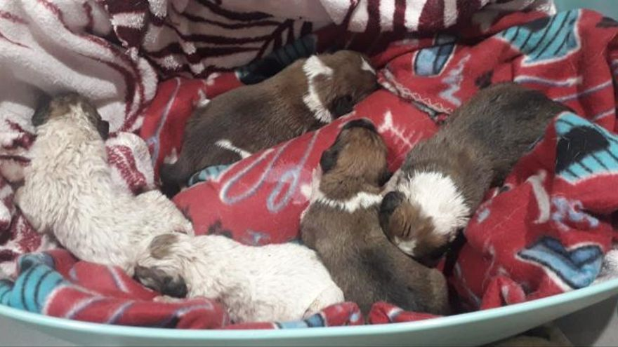 Hallan por segunda vez en año y medio cachorros abandonados en el mismo contenedor de Tui