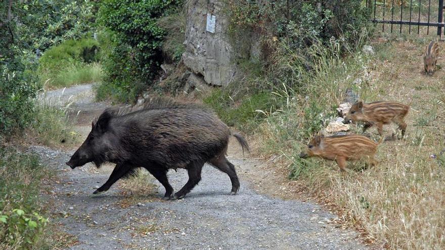 Alcalà exige acciones para paliar la sobrepoblación de jabalís y conejos