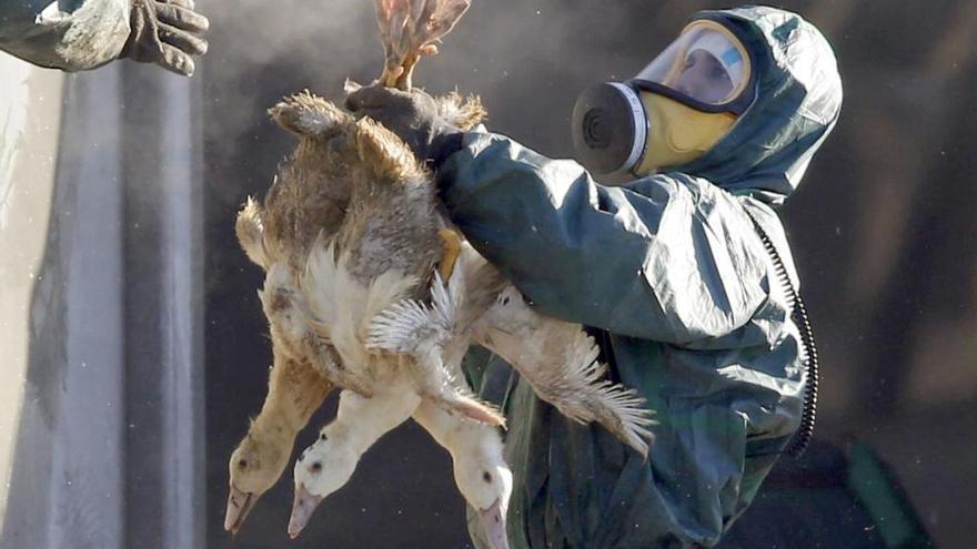 Alertan de posibles nuevos brotes de gripe aviar