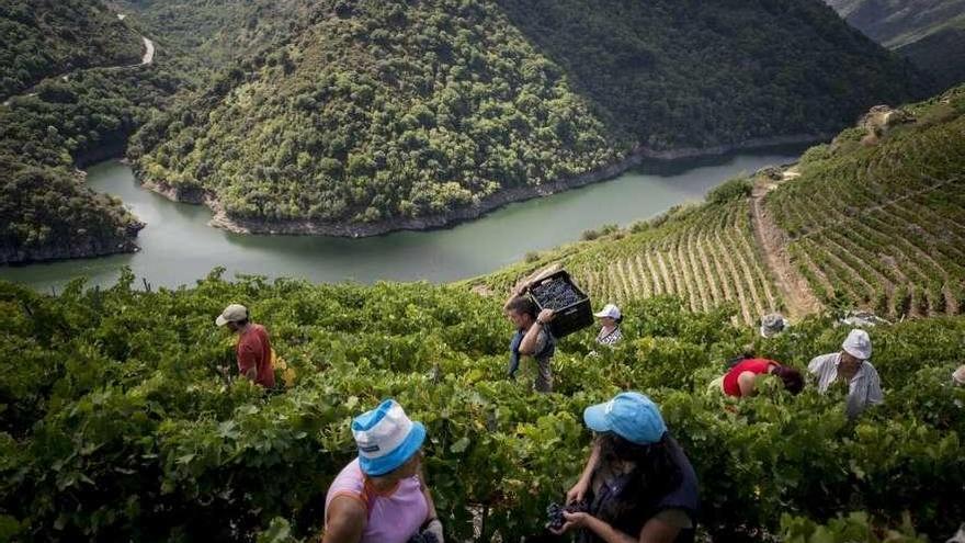 La Ribeira Sacra recupera bancales de la viticultura heroica