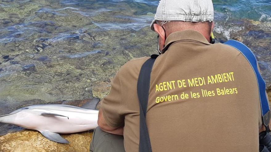 Una cría de delfín muere antes de ser rescatada en Sant Antoni