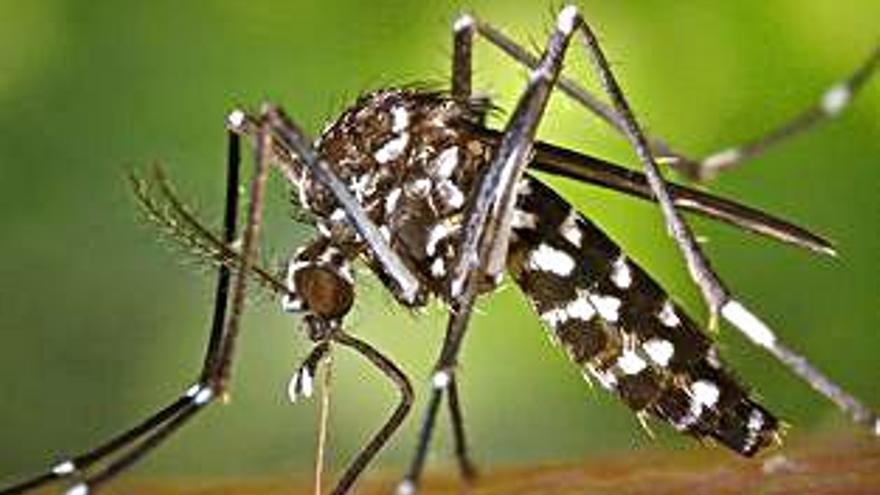 El mosquit tigre augmenta un 31,8 % als municipis valencians en l'últim any