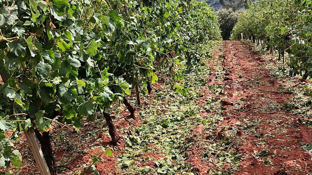 Estragos causados por el pedrisco en un viñedo de Valdeorras.     // L. O.