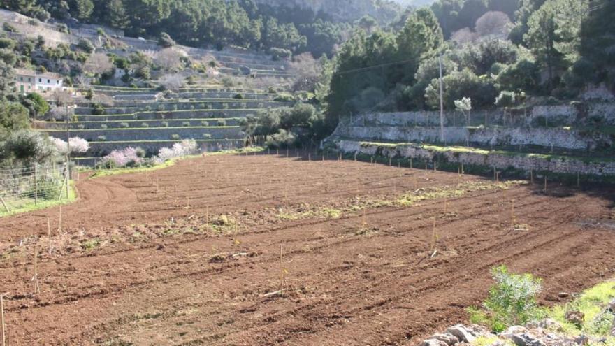 Landgut Planícia im Dienste von Mallorcas traditionellen Kirschbaum-Arten