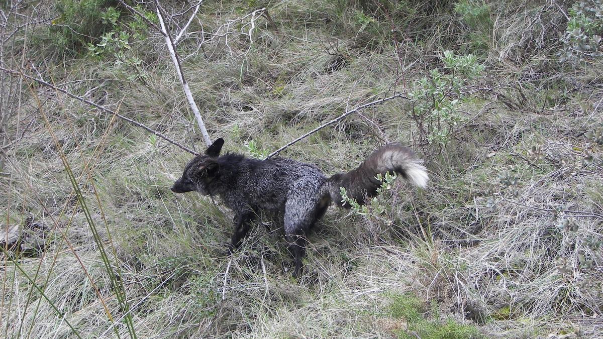 Un ejemplar de zorro negro en una foto de archivo